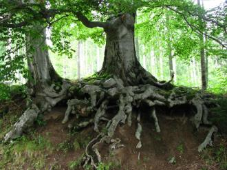 Tree roots intertwine and carry nutrients to all trees in the network.  (img source: fansshare.com: Gracie)